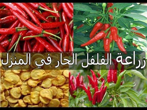 طريقة زراعة الفلفل الحار الشطة من قرن فلفل عادي الجزء الاول 1 How To Grow Pepper Seeds Youtube Potager Jardins