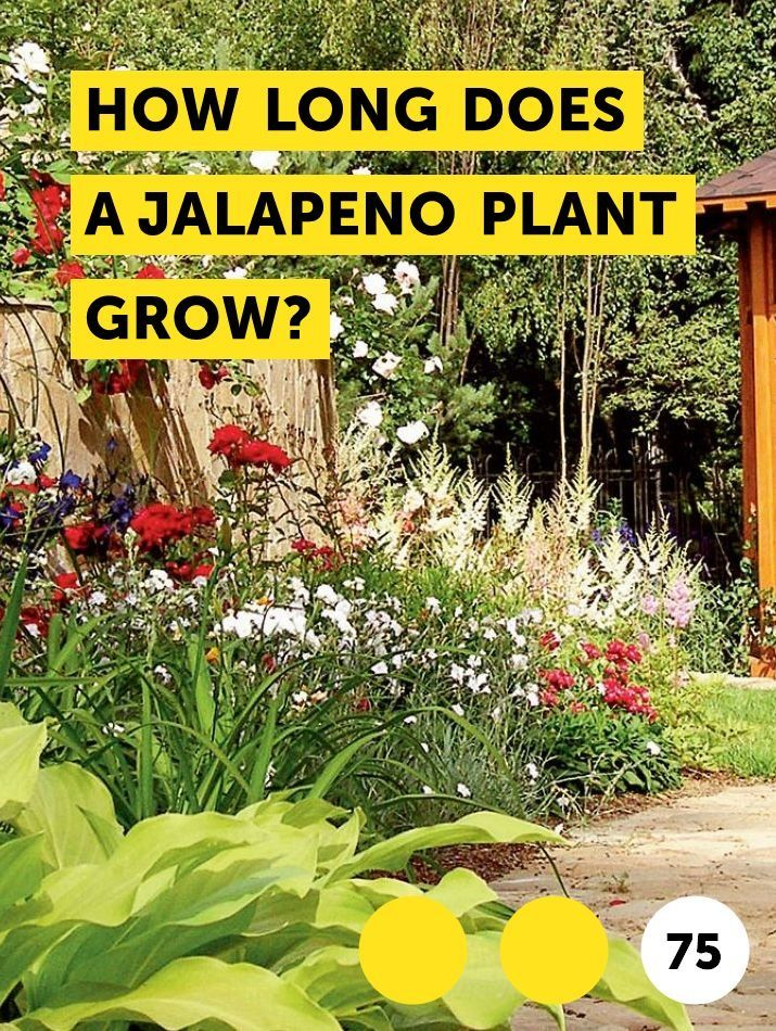 How Long Does a Jalapeno Plant Grow?. Jalapenos are easy ...