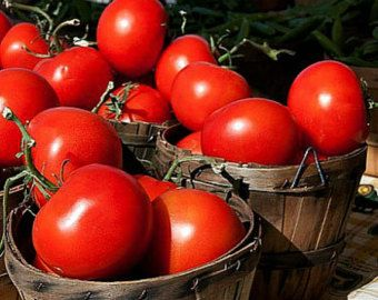 Sub Arctic Plenty, world's earliest heirloom tomato, 25 seeds, plenty of flavor, super short season, easy to grow