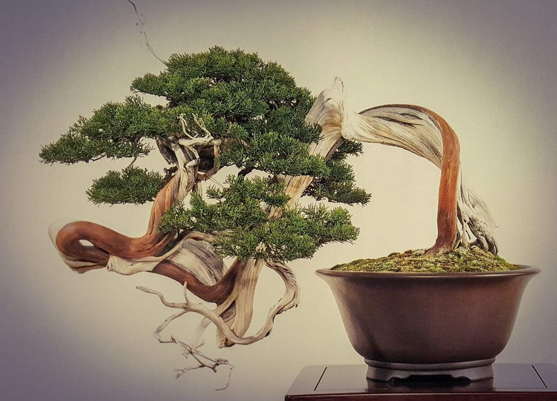 Juniperus Chinensis Kokufu 1989 Jueves Y Viernes De 10 A 14 Y 17 A 21h Bonsaikido Tu Tienda Y Escuela De Bonsai E Bonsai Tree Juniper Bonsai Bonsai