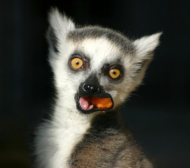 Lemurien maki queue Madagaskar Regenwald tiere, Tiere