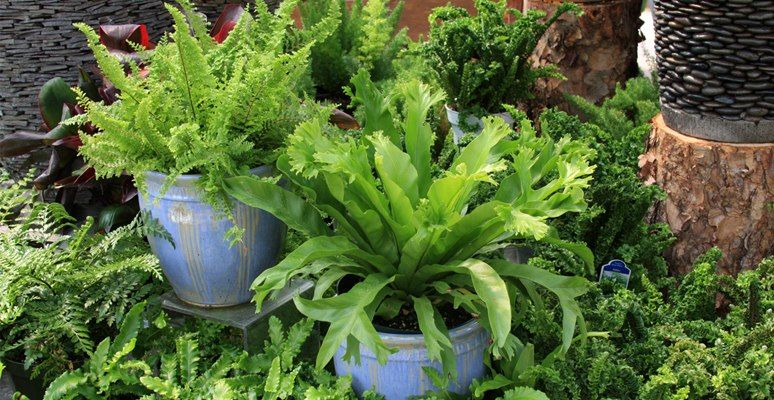 Types Of Ferns For Shade Containers Lady Fern Oak Fern Western Maidenhair Heart S Tongue Holly Fern Plants Types Of Ferns Garden Plants