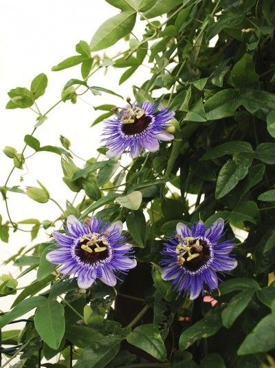 Feeding Passion Flower Vines How To Fertilize A Passion Flower Vine Climbing Flowers Flowering Vines Beautiful Flowers Garden