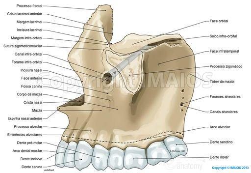 Crânio Ilustrações Anatômicas Anatomia Dental Anatomia Dos Ossos Cabeça E Pescoço