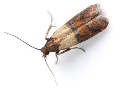 Top Five Pantry Pests To Watch Out For Pests Meal Moths Pest Control