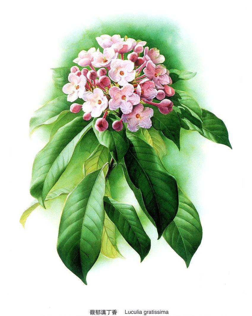 Клипарт – Цветы из китайской живописи (73 фото) | Цветы ...