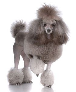 Hypoallergenic Dogs Are There Dogs That Don T Shed Poodle Dog Top 10 Dog Breeds Cute Dogs