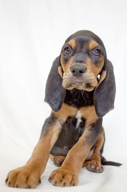 Tallahassee The 8 Week Old Coonhound Hound Mix Hound Dog