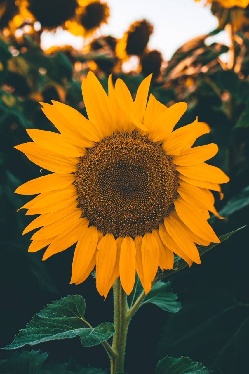 Sunflower wallpaper by Xerishya - e7 - Free on ZEDGE™