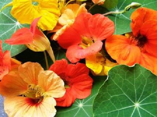 Tall-Trailing-Mix-Nasturtium-Seeds-Beautiful-Edible-Flowers-Groundcover-plant