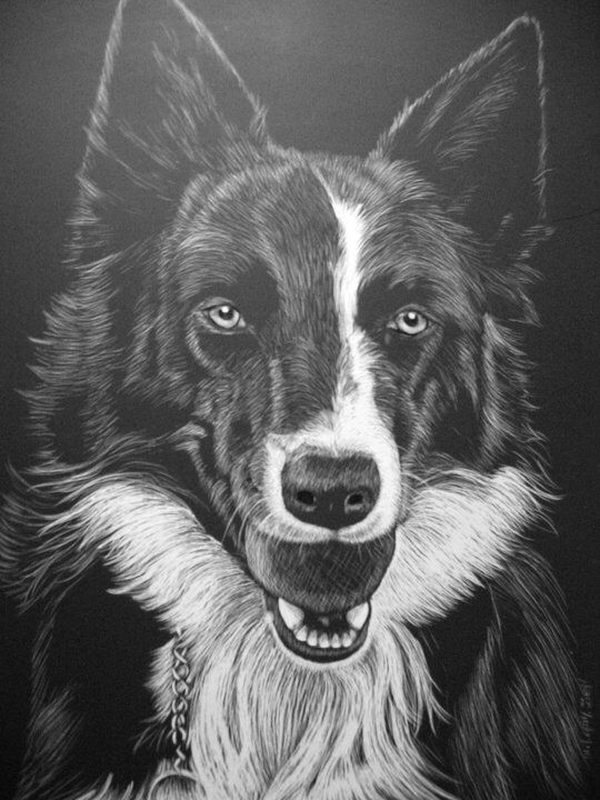 A scratch board drawing I did of Border Collie Jessie Baze.