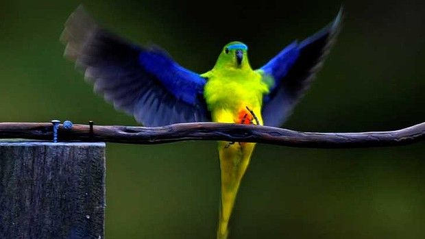 Population dwindling: scientists have undertaken breeding programs to try to save the orange-bellied parrot.