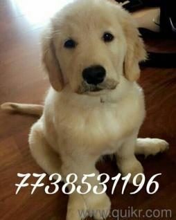 Golden Retriever Only For Adoption Delhi Golden Retriever