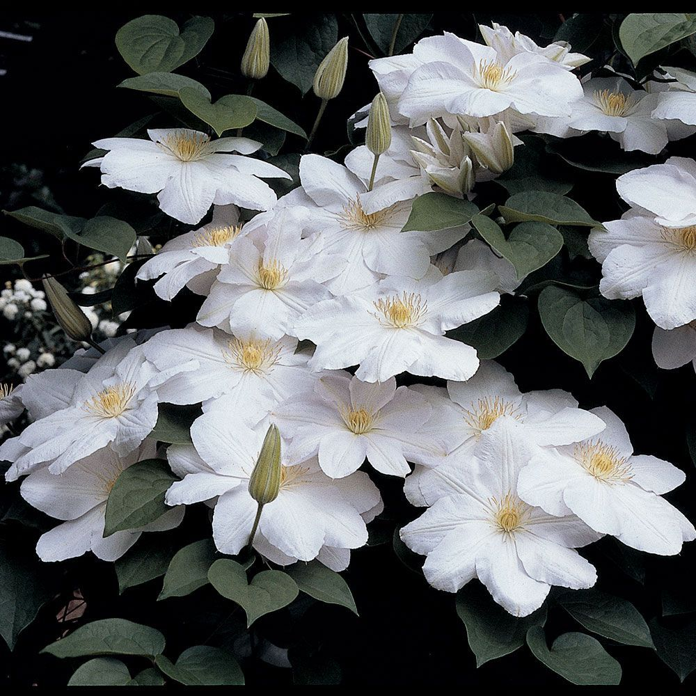 Clematis Candida Pinterest Clematis Gardens And Flowers