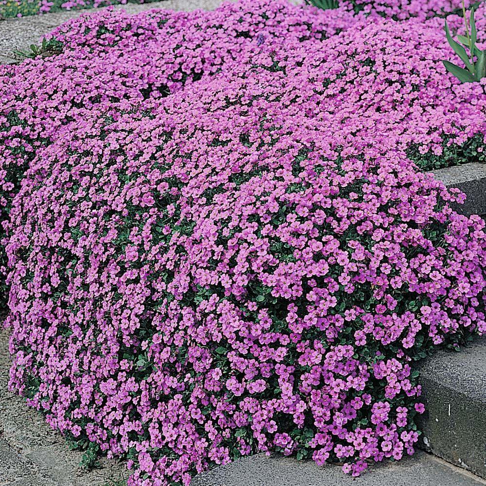 Aubrieta purple cascade f1 hybrid aubretia hardy perennial for Hardy plants for the garden