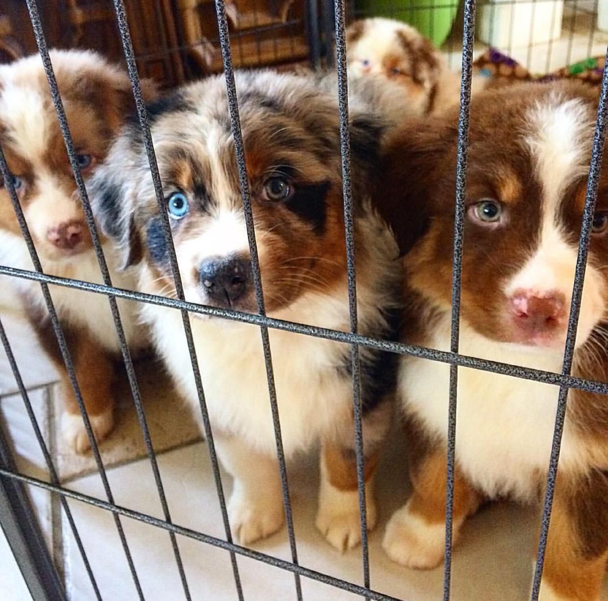 Aussie Puppy Jail (With images) Aussie puppies