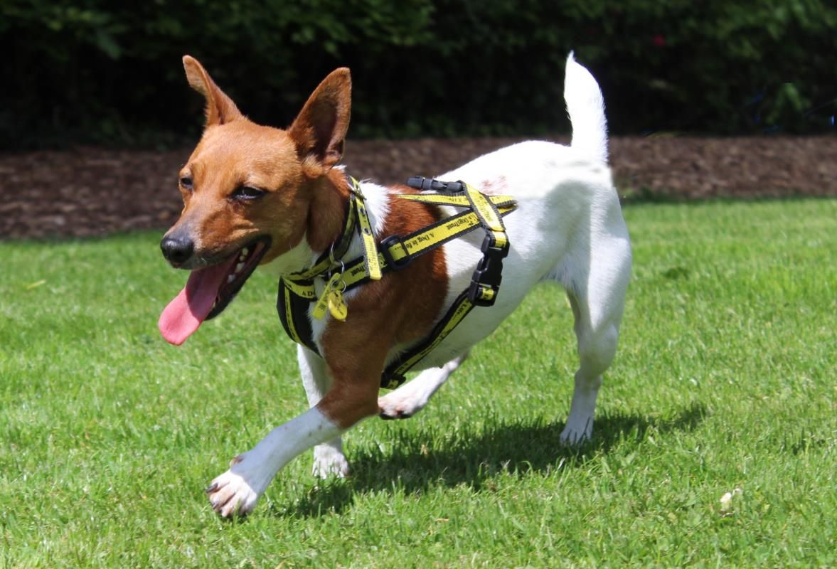 Adopt A Dog Lexi Jack Russell Terrier Jrt Dogs Trust Dogs Dog Adoption Dogs Trust