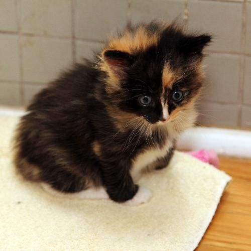 Calico Cats Google Search Calico Cat Cats Kittens