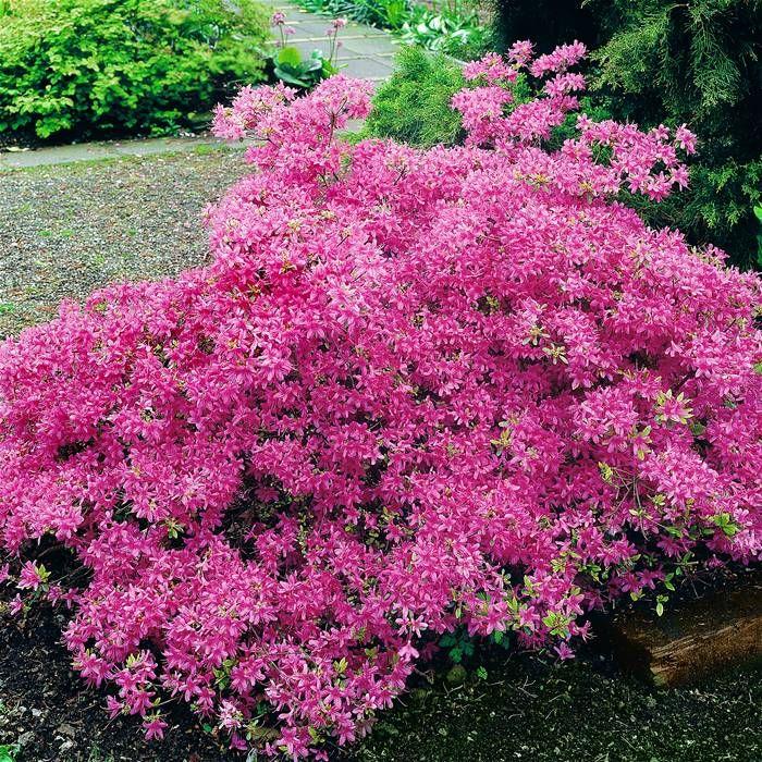azalea mollis roze 1 heester kopen veilig online. Black Bedroom Furniture Sets. Home Design Ideas