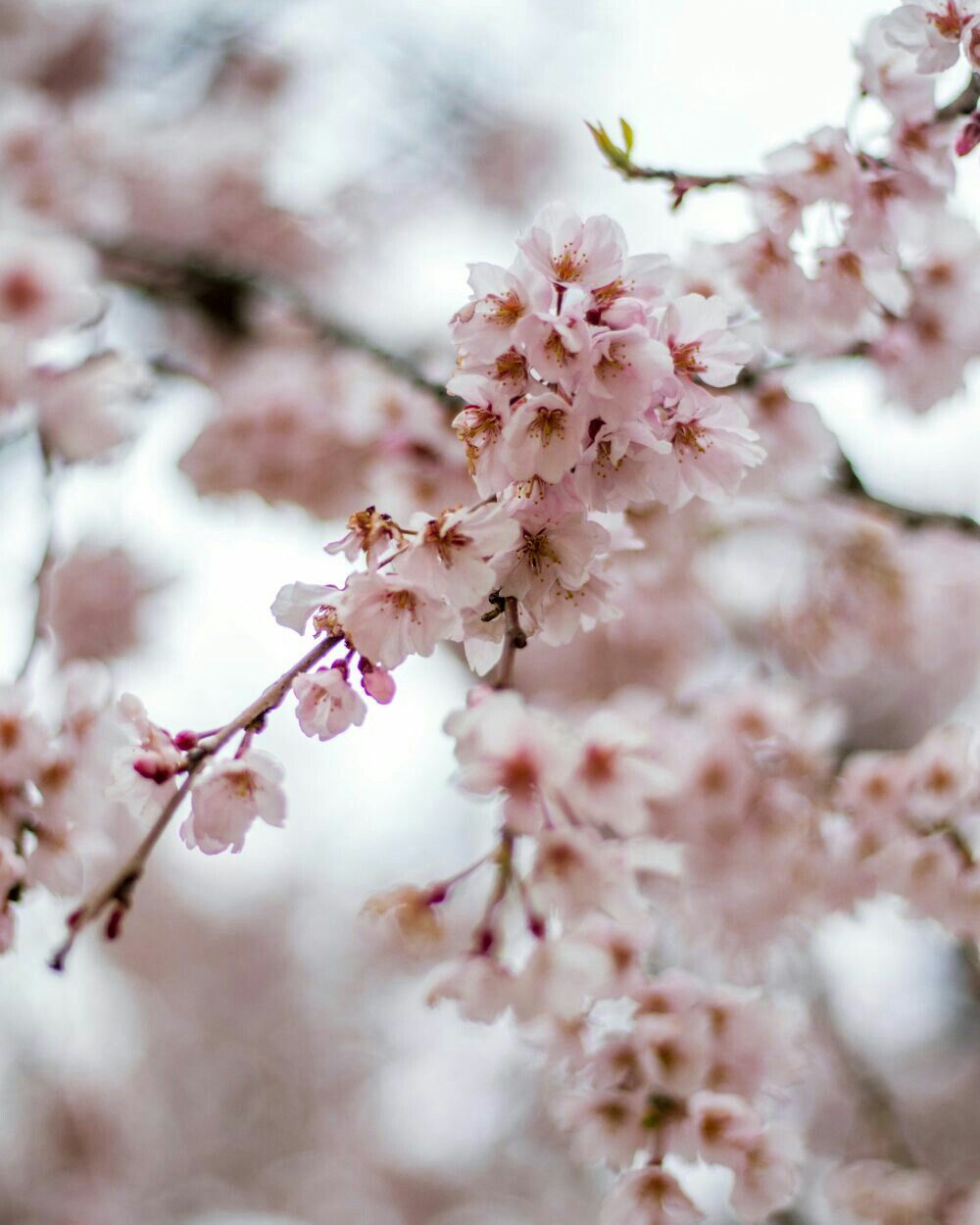 There Are Hundreds Of Varieties Of Cherry Blossom Trees In The World Do You Know How To Tell The Differen Blooming Trees Cherry Blossom Tree Cherry Blossom Dc