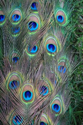 Crafts Peacock Peacock Feathers Peacock Decor