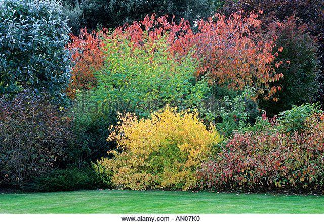 Autumn Shrub Border Cornus Alba Spaethii Cornus Stolonifera