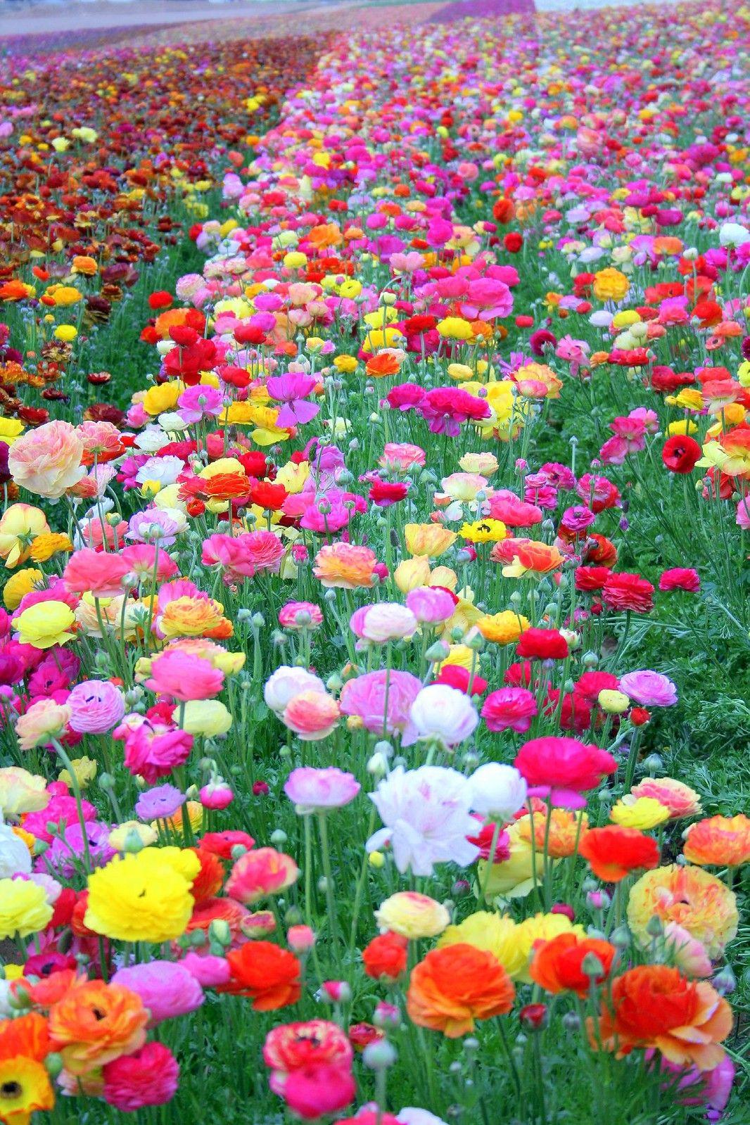 Spring Has Sprung Beautiful Flowers Wallpapers Beautiful Flowers Beautiful Flowers Garden Amazing flower video wallpapers