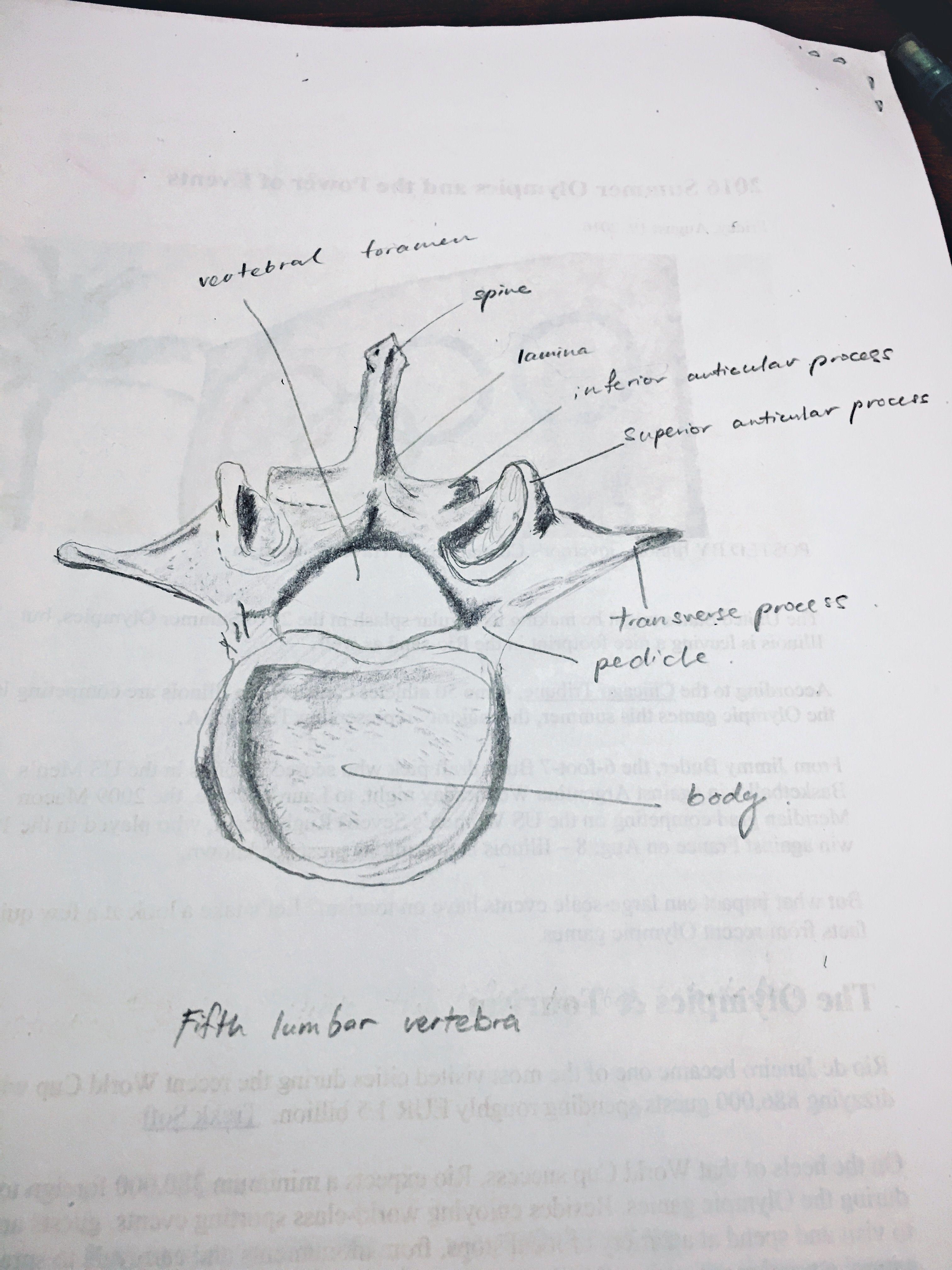 Fifth Lumbar Vertebra Drawings Pinterest