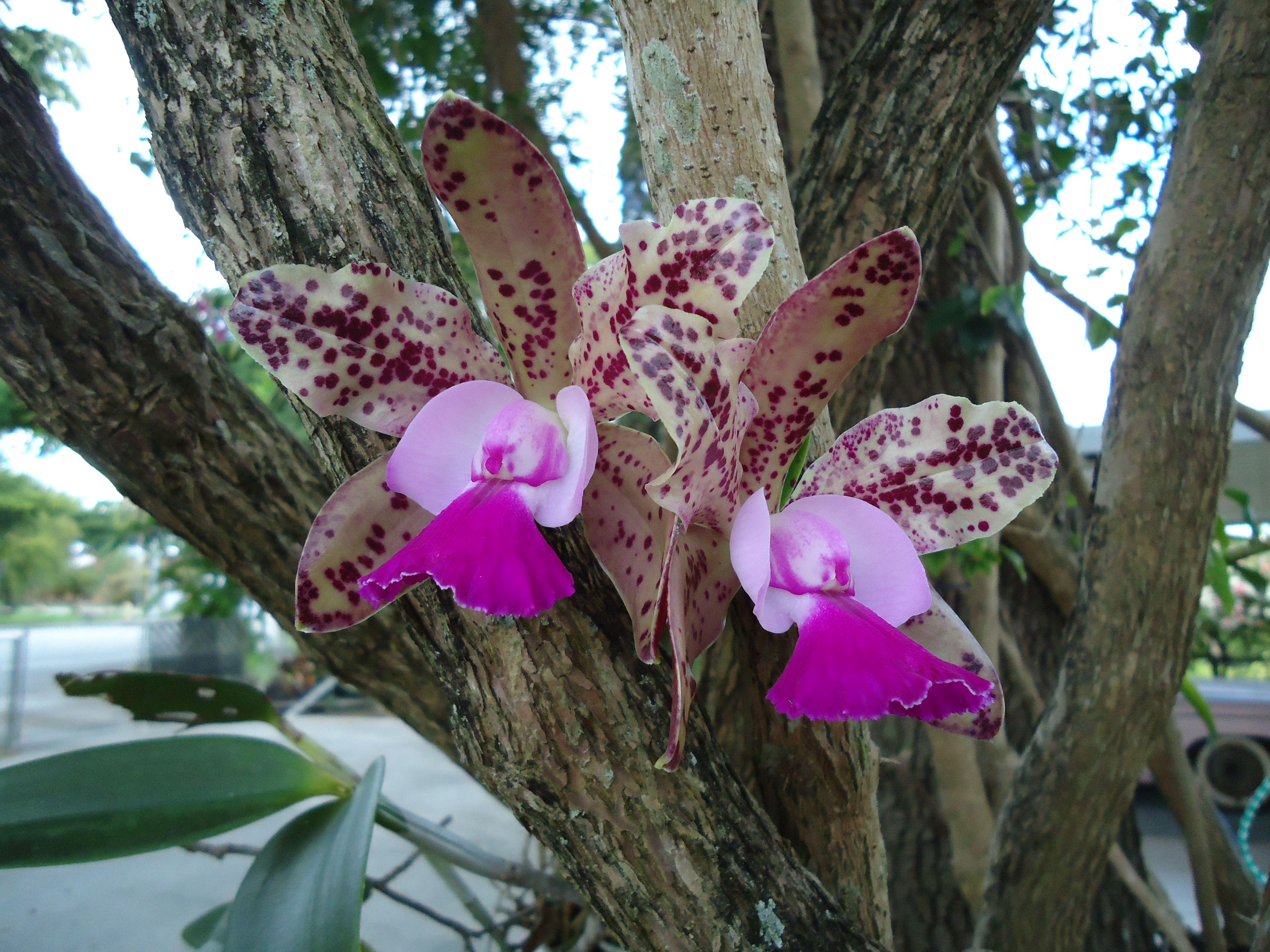orchid on an oak tree trees pinterest oak tree