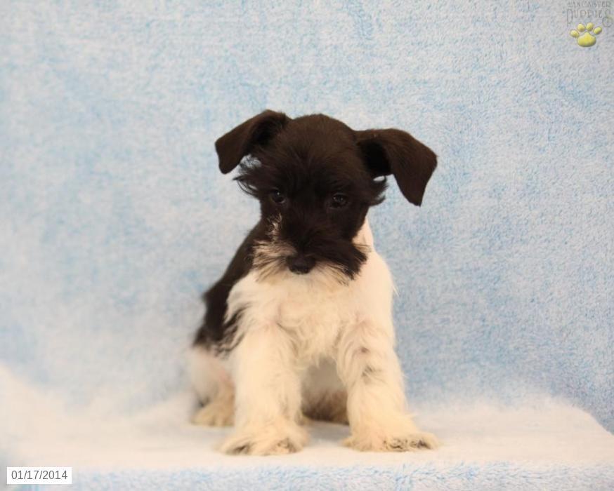 Miniature Schnauzer Puppies Schnauzer Puppy For Sale In Ephrata Pa Miniature Schnauzer Miniature Schnauzer Puppies Puppies For Sale Schnauzer Puppy