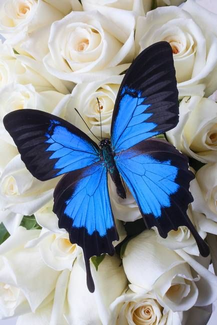 """Blue butterfly on white roses"" by Garry Gay"