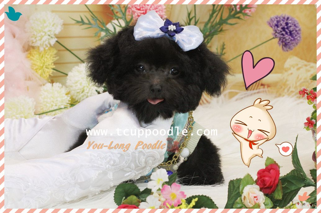 JiaQiao (Youlong Breeding Center) http://www.52993344.com/en/ Teacup Toy Poodle puppy for Sale International Delivery Available Website : 52993344.com/en We categorizes our puppies by the following ranks: standard: 52993344.com/en/dog_parity.php premium: 52993344.com/en/dog_good.php supreme: 52993344.com/en/dog_refinement.php Line ID : teddymommy75 Whatsapp : +886975785398 QQ: 603042543 SKYPE: teddy52999 Email: a5299.a3344@msa.hinet.net (check daily basis) teddy5299@hotmail.com