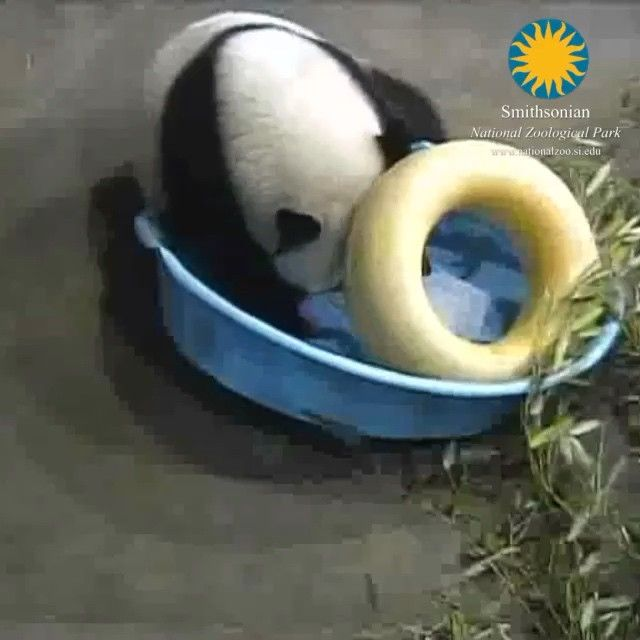 From the panda cams: Bao Bao got a bear-sized ice cube as some special enrichment today.