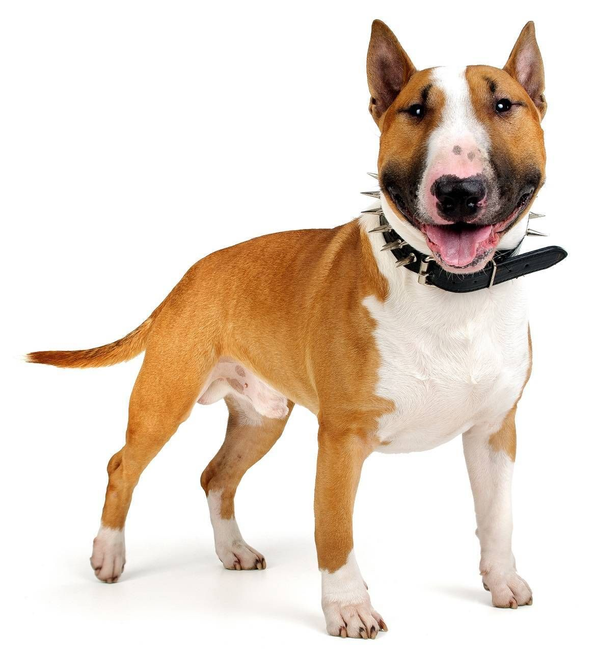 Bull Terrier Dog Breed Guide (With images) Bull