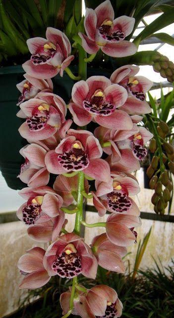 Cascading Cymbidium orchid Pradisian Black Lip#decorationideas #livingroomdecor #designlogo #designgrafico #designspiration #nailoftheday #nailbar #nailitdaily #nailartclub #nailaddict #designerclothes #nailstyle #nailswag #nailsoftheday #nailsonpoint