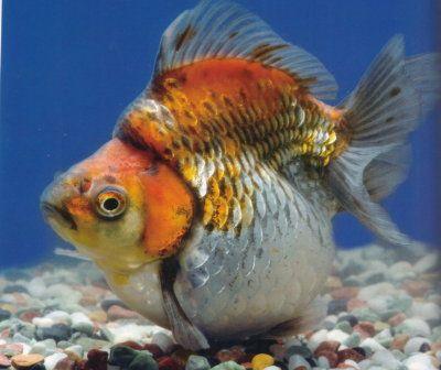 Calico ryukin with short tail aquarium pez dorado for Criadero de peces goldfish
