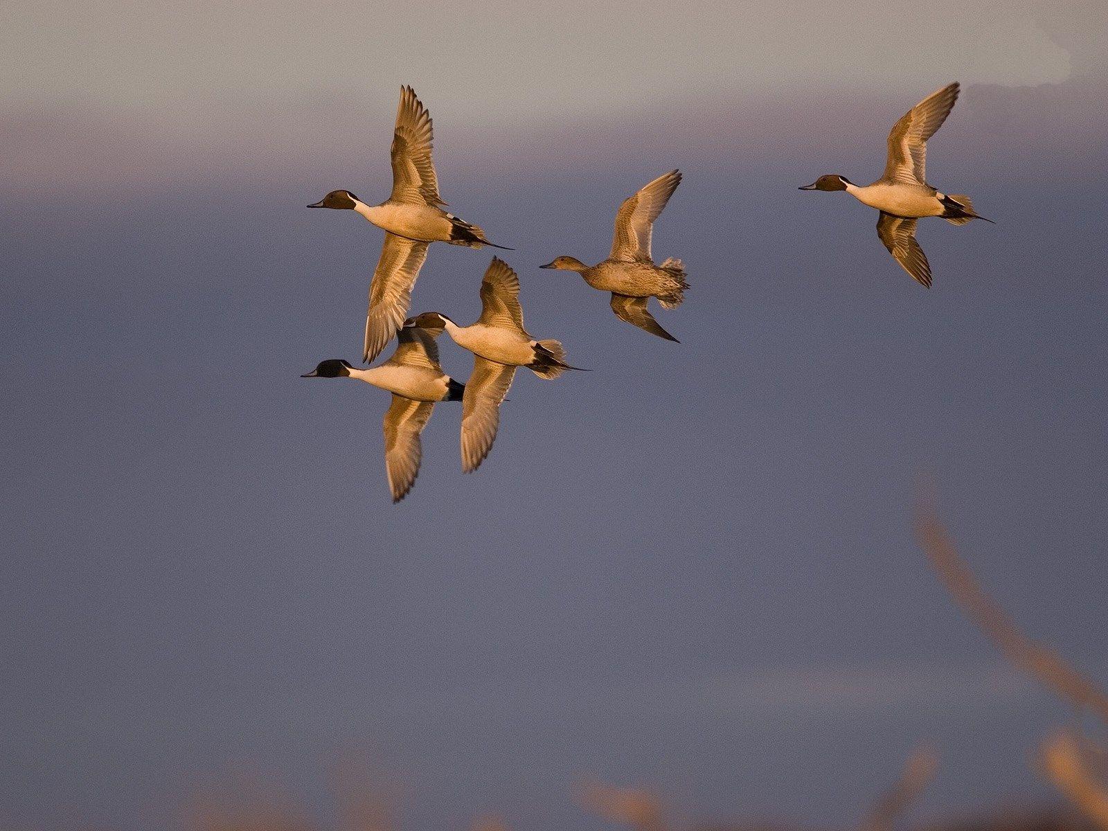 Duck Hunting Hd Wallpaper