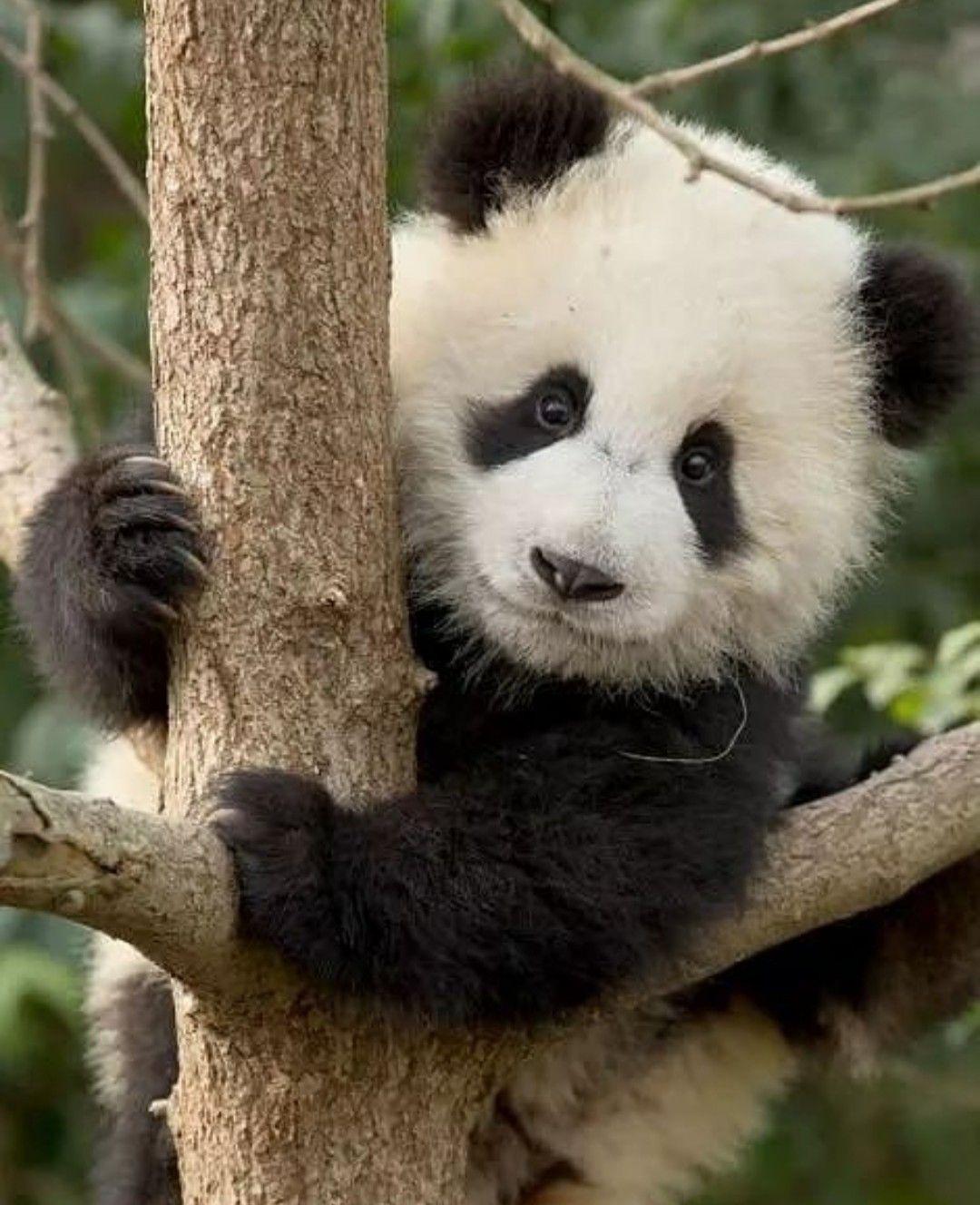 Pin De Cute Animals Fluffy Animals Em Meu Fofineo Ursos Panda Bebe Urso Panda Animais Bebes