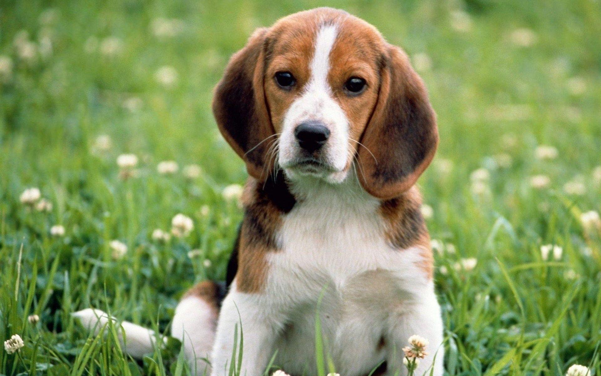 Cute Beagle Puppy In Spring Picture Hd Wallpaper Cute Beagles
