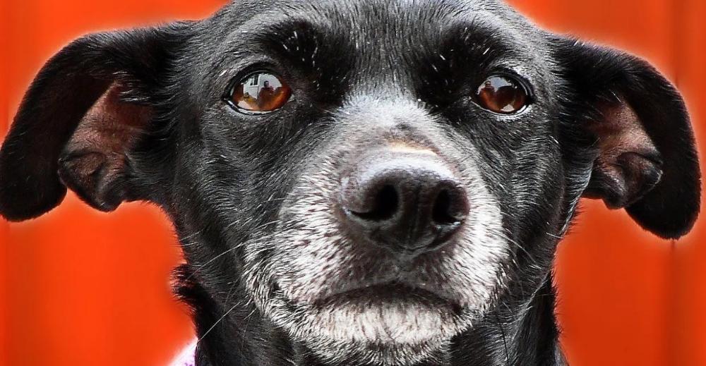 Corgi Husky Mix Appearance Characteristics Temperament Dog Ages Dog Care Senior Pet Care
