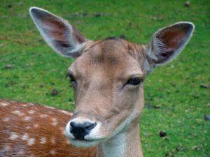4 Effective Pest Control Recipes Animals Mammals Fallow Deer