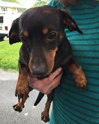 Morrisville, PA Dachshund. Meet Cookie a Dog for