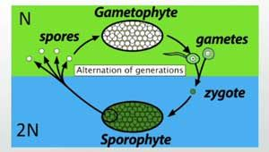 Gametophyte To Sporophyte Alternating Cycle 7 30 2 Haploid Unicellular Gametes Mate To Form One 2n Alternation Of Generations Genetic Variation Generation