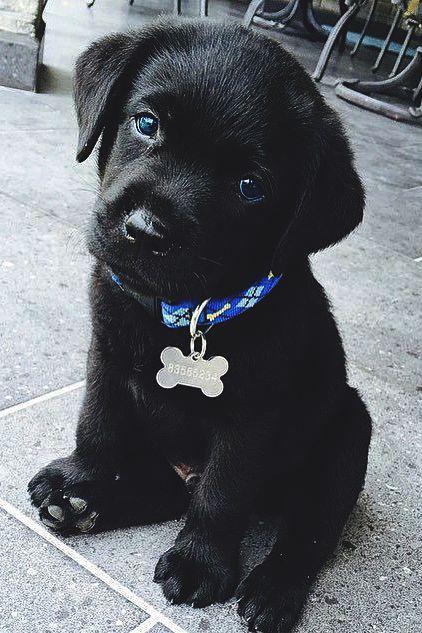 Black Lab puppy - definitely need a red collar