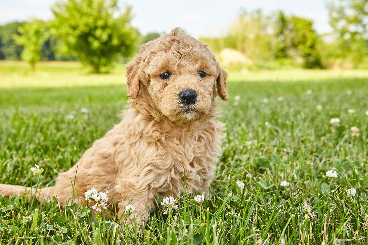 Have You Met Our Cutest Litter These F1b Mini Goldendoodles Will Melt Your Heart With Their Cuteness We Have Males And Puppies Goldendoodle Golden Retriever
