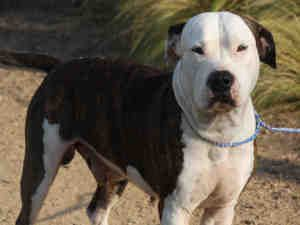 Dog Friendly Austin Http Walkyourdogaustin Com Dog Friends American Bulldog Bulldog Dog