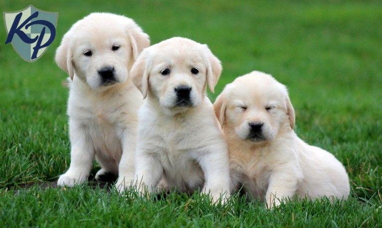Goldadores Akc English Cream Golden Akc Chocolate Lab Puppies