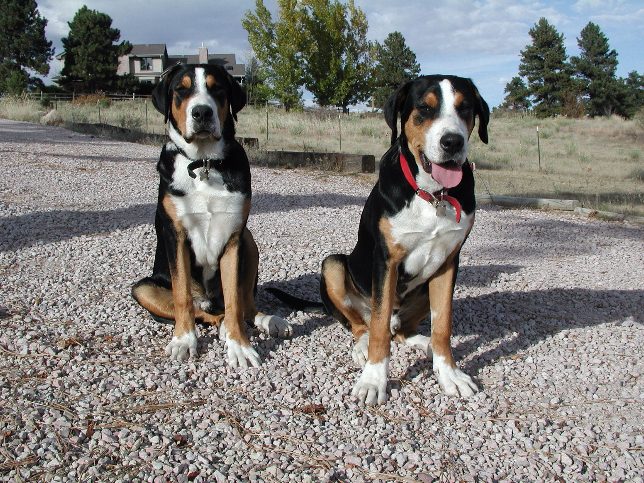 Pin On Greater Swiss Mountain Dogs