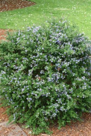 Ceanothus impressus 39 vandenberg 39 small shrubs less for Arbustos de hoja caduca