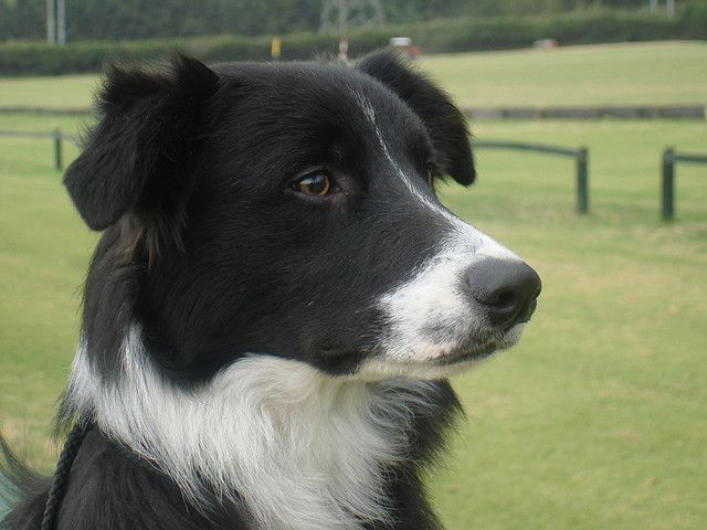 Border Collie Ammardam S Rev Collie Dogs Border Collie